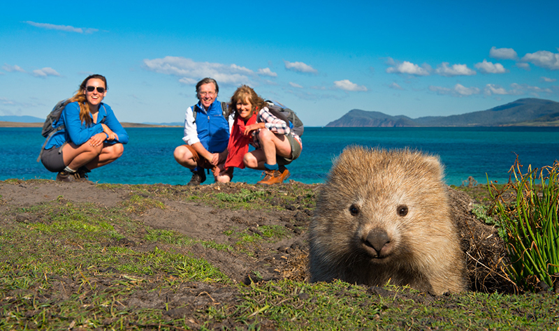 Common Wombat on Maria Island